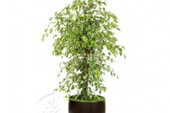 plant_gallery-Ficus_Gold_King