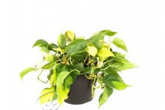 plant_gallery-Philodendron_Brazil