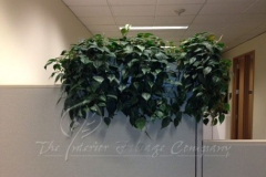 plant_gallery-Philodendron_Cordatum