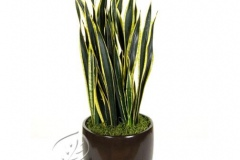 plant_gallery-Sansevieria_Black_Gold