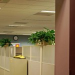 Office Landscaping Golden Pothos in cubicle mounted