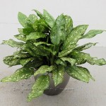 plant_gallery-Aglaonema_Gold_Dust
