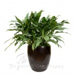 plant_gallery-Aglaonema_Sterling