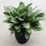 plant_gallery-Aglaonema_Stripes