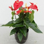 plant_gallery-Anthurium
