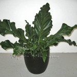 plant_gallery-Anthurium_Plo