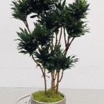 plant_gallery-Dracaena_Compacta_Character