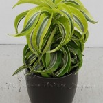 plant_gallery-Dracaena_Lemon_Surprise