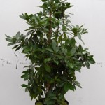 plant_gallery-New_Zealand_Laurel