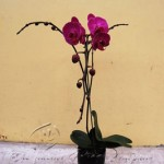 plant_gallery-Phaleonopsis_Purple
