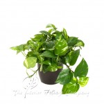 plant_gallery-Pothos_Golden