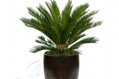 plant_gallery-Cycas